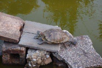 A turtle enjoying itself in Arakawa Nature Park
