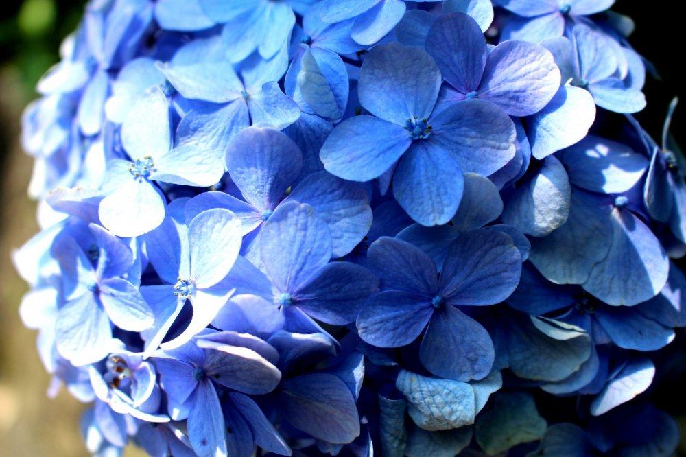 Ярко-синяя адзисай