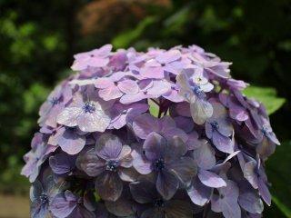 Бледно-фиолетовая окраска