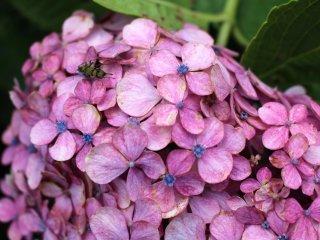 Ярко-розовая адзисай