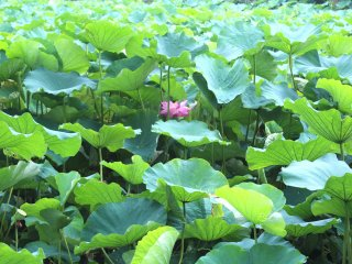 Пруд с лотосами в парке Уэно
