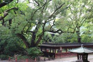 Big trees of Nezu Jinja