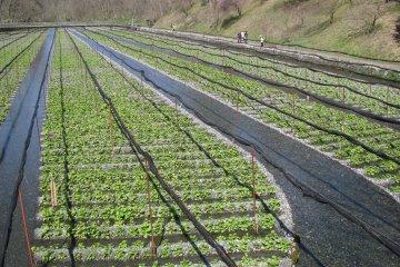 Ферма васаби