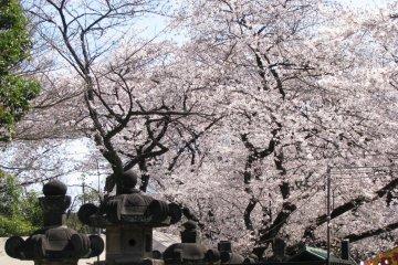 Сакура в парке Уэно