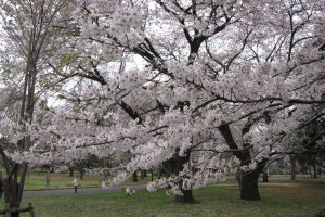 Gorgeous sakura in Koganei park