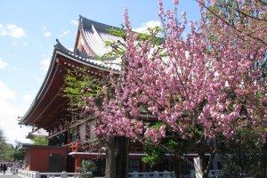 Sakura at Senso-ji temple