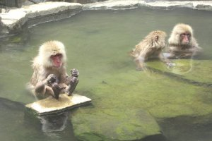 Monkeys in the onsen