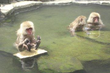 Monkeys in the onsen