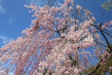 Wonderful sakura