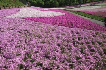Huge flower beds of pink shibazakura
