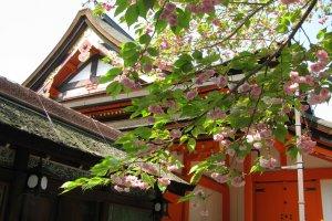 Late sakura in Yasaka Jinja