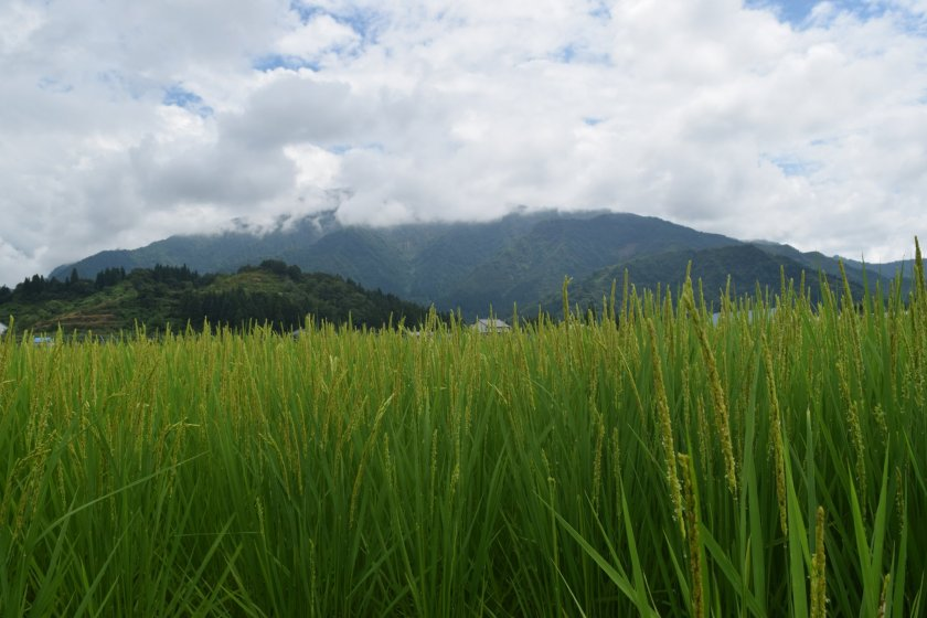 The Uonuma area is famous for rice and sake