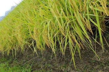Koshihikari rice is grown everywhere in this region of Japan