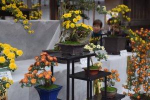 Bonsai styled chrysanthemums