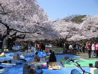 Зарезервированные места под сакурой в парке Уэно