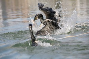 Tethered by rope, cormorant scoop up the sweetfish