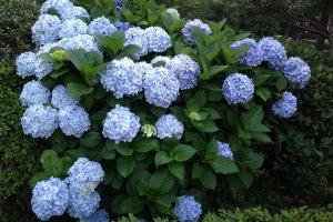 Голубая великолепная гортензия