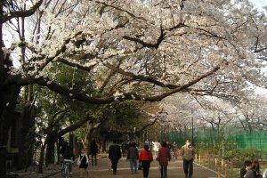 Blossoms blooming at Hanegi Park
