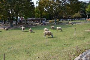 羊たちが草を食んでいます