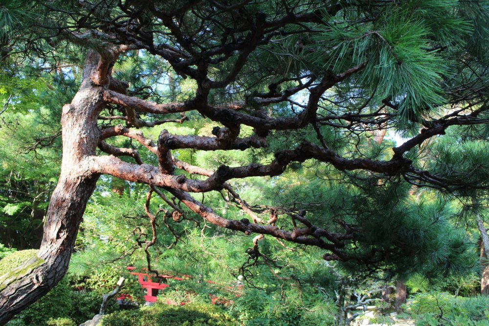The pine tree, or matsu, is the symbol of courage, endurance and longevity