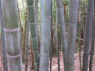 Bamboo, known in Japanese as take