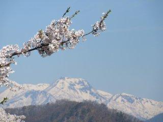 Сакура и горы - знаковый образ Японии