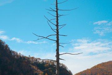 ต้นไม้ใหญ่ไร้ใบอันนี้เหมือนเป็น Landmark ของ Taisho Pond