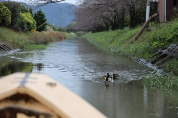 Omi-Hachiman cruises can be enjoyed year-round, but come alive during cherry blossom season