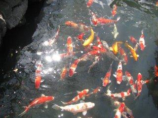 """Разноцветные карпы, называемые """"кой"""" в храме Сэнсо-дзи"""