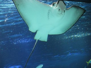 Stingrays are funny and not dangerous being behind a glass!