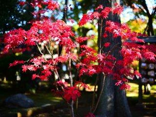 Autumn maple leaves are abundant