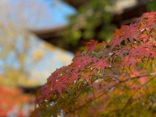 Fall is a colorful season at Gotokuji