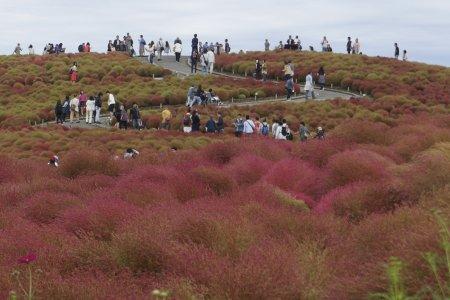 Musim Gugur di Hitachi Seaside Park