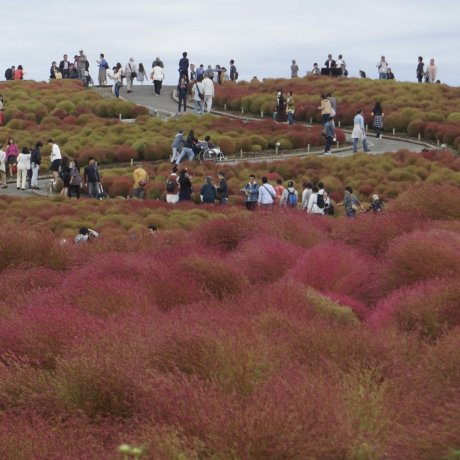 Musim Gugur di Hitachi Seaside Park