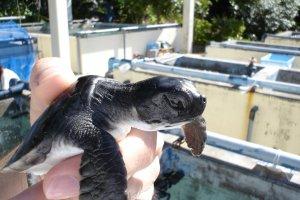 Ogasawara Marine Centre turtle, Chichijima Island