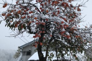 A persimmon tree covered in snow