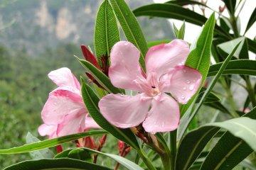 Цветок олеандра - символ Хиросимы