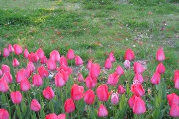 Весной в городе цветёт много тюльпанов...