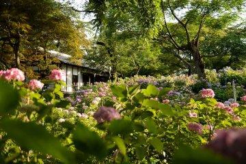 Hondoji hydrangea grove in the rainy season