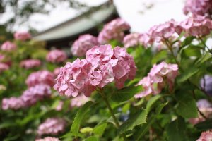 Hydrangeas in June at Hondoji