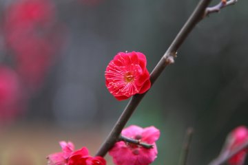 Setagaya Plum Blossom Festival