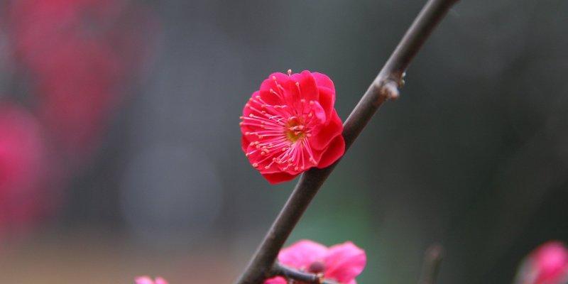 Hanegi Plum Blossom Festival