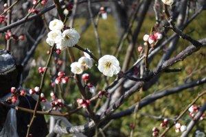 A white plum blossom variety