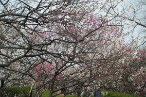 The beginning of spring is often marked by the arrival of plum blossoms