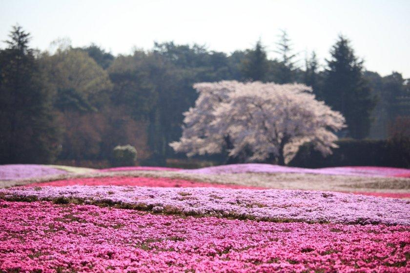 Sakura and shibazakura - photogenic perfection!