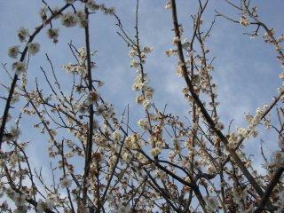 Ume, blooming plum tree