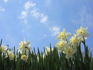 Suisen, daffodils