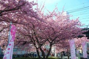 미우라카이간 벚꽃 축제