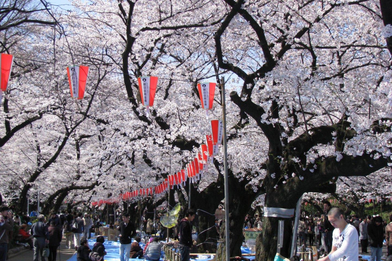 Hanami in Ueno Park, Tokyo