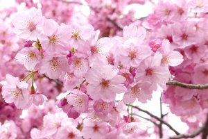 Pops of pink will surround Atami Castle